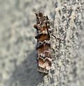 Loblolly Pine Coneworm Moth - Dioryctria merkeli