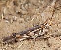 White-lined Grasshopper - Conozoa rebellis - male