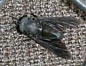 Horse Fly - Tabanus atratus