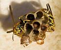 tiny wasp - Mischocyttarus mexicanus