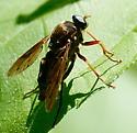 Deer fly? - Coenomyia ferruginea - male