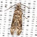 Dryadaula Moth No. 41 - Dryadaula