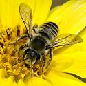 Bee on Dwarf Sunflower - Megachile