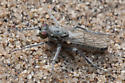Robberfly, Asilidae, Lasiopogon sp. - Lasiopogon littoris - male