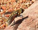 Poecilanthrax lucifer ? - Poecilanthrax lucifer