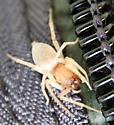 Sac spider - Clubiona - female
