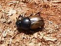 Aphodius ( Colobopterus ) erraticus - Aphodius erraticus