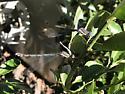 Dragonfly buddies - Archilestes grandis - male - female