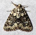 possible - Cryphia olivacea or C nana - Cryphia olivacea