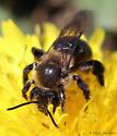 Andrena - Andrena vicina