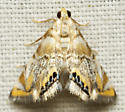 Gold tent moth - Eoparargyractis irroratalis