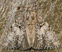 retarded dagger moth - Acronicta retardata