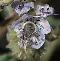 Andrena palpalis - female