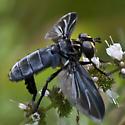 Feather-legged Fly - Trichopoda lanipes - female