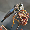 Sage scrub robber fly #2 - Stenopogon californiae - male