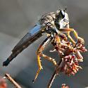 Sage scrub robber fly #2 - Stenopogon californiae - male