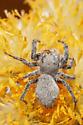 Gray jumping spider - Phidippus octopunctatus - female