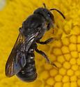 Bee IMG_9288 - Stelis coarctatus