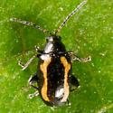 Tiny Black & Orange Beetle - Phyllotreta striolata