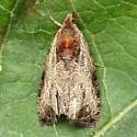 An Olethreutes sp. - Olethreutes inornatana