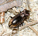 ground beetle - Notiophilus biguttatus
