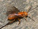 Large orange winged ant - Lasius interjectus