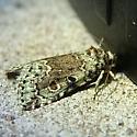Lithacodia-like Moth? - Lithacodia musta