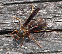 Wasp - Polistes fuscatus