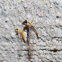 Small-eyed mayfly - Nixe