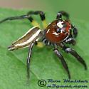 Spider 02 - Colonus sylvanus