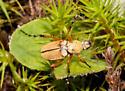 Coleopteran - Macrodactylus