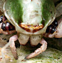 Crab - Misumenoides formosipes