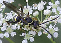 unknown wasp - Ceropales maculata
