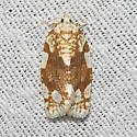 White-spotted Leafroller - Hodges#3624 - Argyrotaenia alisellana