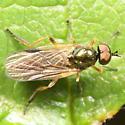 Fly with big eyes & shiny green thorax - Beris fuscipes