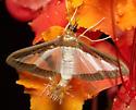 Beautiful clear winged moth - Diaphania hyalinata