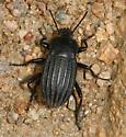 beetle - Eleodes tricostatus