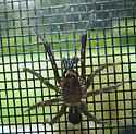 Mystery Spider - Antrodiaetus pacificus