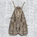 Speared Dagger Moth - Hodges#9229 - Acronicta hasta