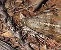 moth, brown & gray - Bulia