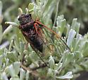 mountain cicada? - Okanagana