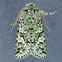 10009  - Feralia februalis - male