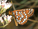 Variable Checkerspot - Euphydryas anicia - male