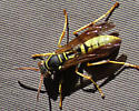 Yellow jacket? - Polistes aurifer