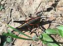 Eastern Lubber Grasshopper (Romalea microptera) - Romalea microptera