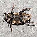 Hydrophilus triangularis - Giant Black Water Beetle? - Hydrophilus triangularis