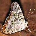 Hackberry emperor - Lateral - Asterocampa celtis - male