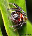 Jumping Spider - Colonus puerperus - male
