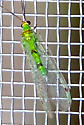 Chrysopidae (Green Lacewing)