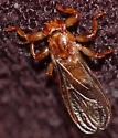 Deer louse fly? - Lipoptena cervi